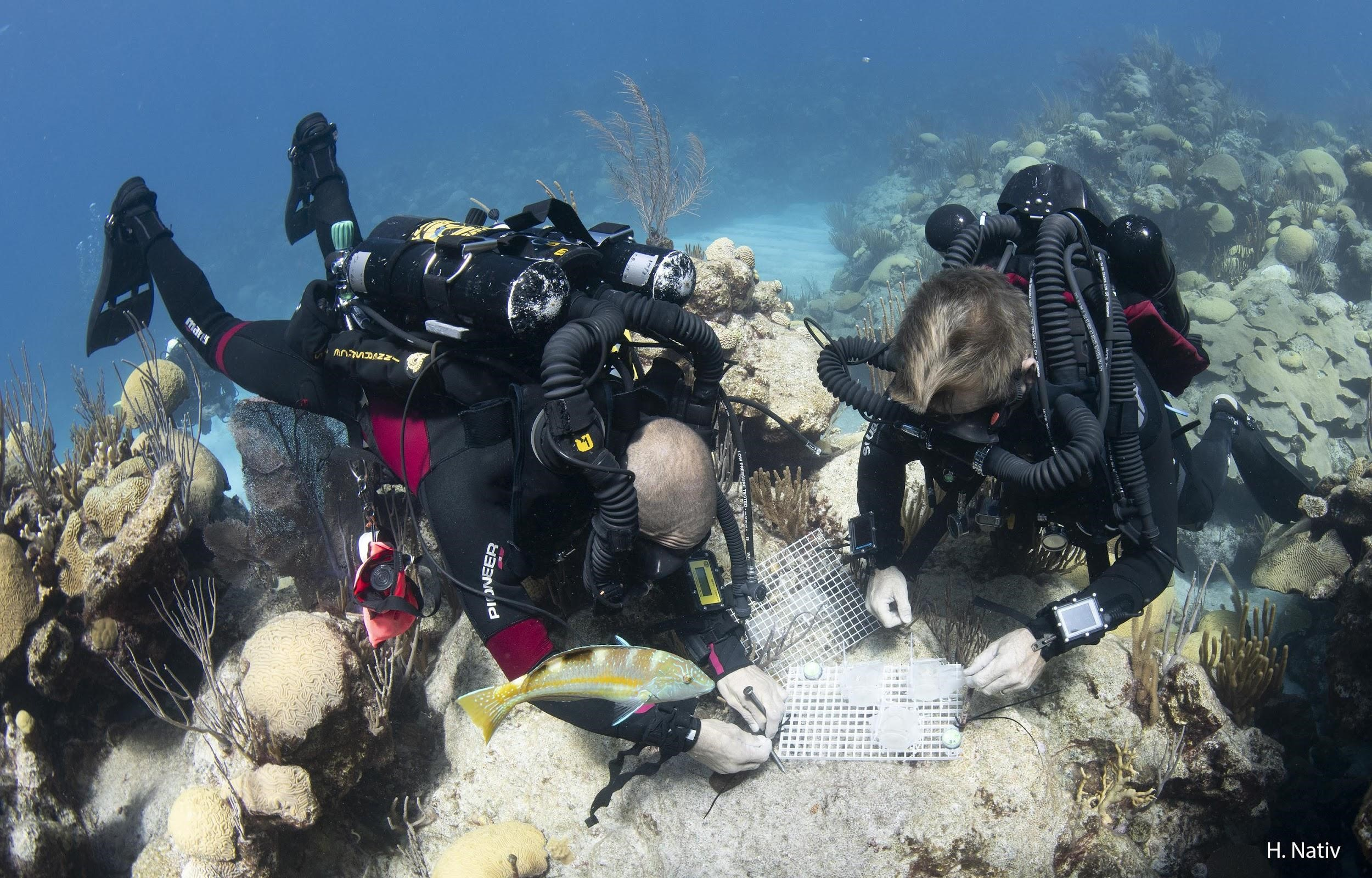 The technical dive teams from the Mass and Goodbody-Gringley labs deploying larval settlement chambers onto the reef in Bermuda to assess juvenile development.